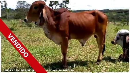 Lote 09 - Garrote Gir leiteiro com 2 anos (com RGN) filho de Cetro Te da Silvânia